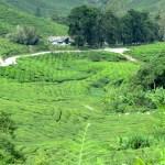 Boh Tea Plantations