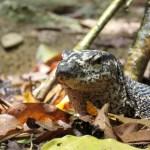 En los alrededores hay algunos animales como estos lagartos (Varanus)