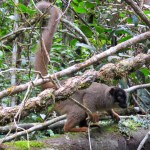 Lemur café