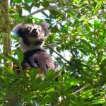 Lemur Indri