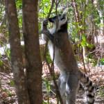 Lemur marcando el territori