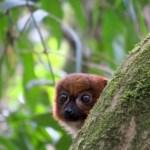 Lemur dorado de bambú