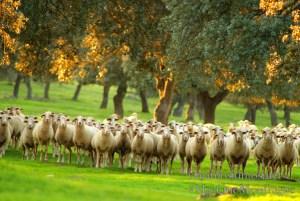 Ovejas en la dehesa, Parque Nacional de Monfragüe y la Reserva de la Biosfera de Monfragüe, Extremadura