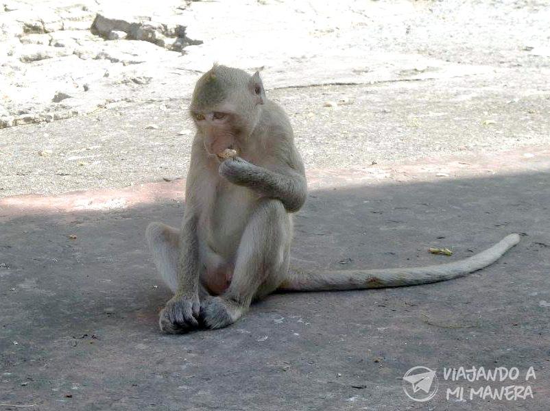 Monkey Lopburi