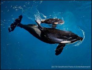 Seaworld dá as boas-vindas ao seu último filhote de orca