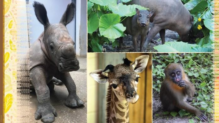 Collage of animals born at Disney's Animal Kingdom Theme Park: rhinoceros, giraffe, babirusa, and mandrill