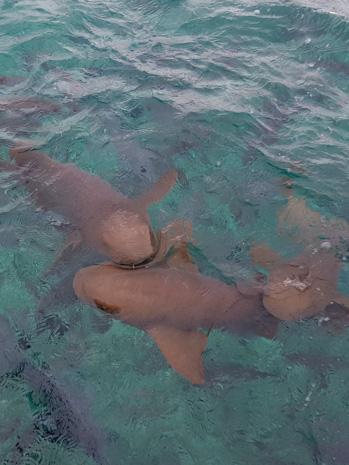 Mergulho com tubarões em Belize