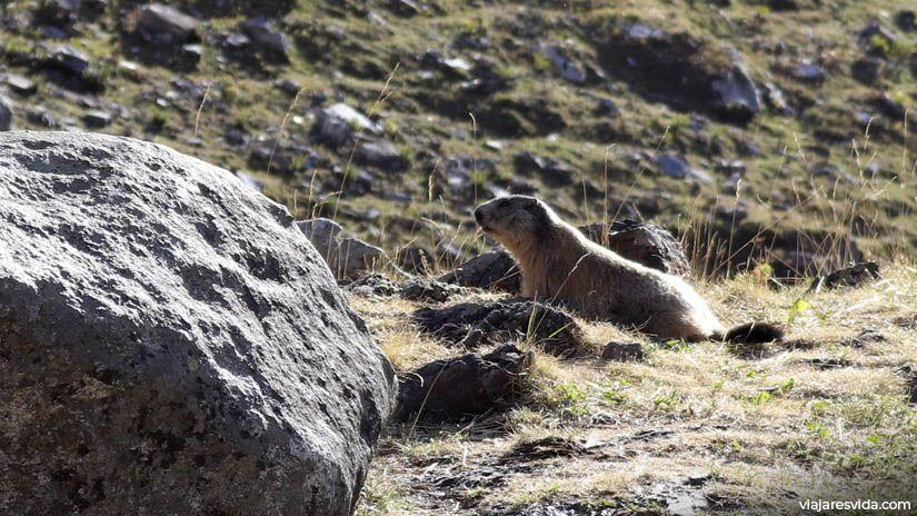 Marmota en la excursión a Forau de Aiguallut