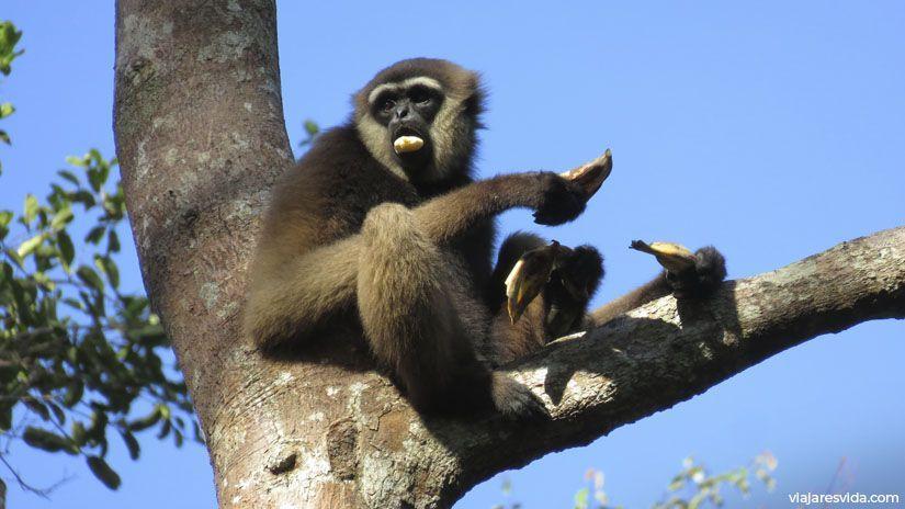 Gibón negro de Borneo en Tanjung Puting