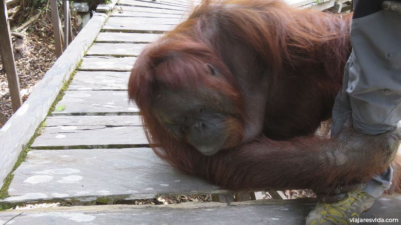 Orangután agarrando la pierna a un visitante en Borneo
