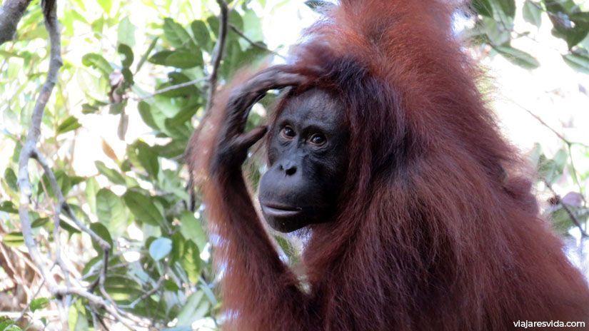Orangután en Borneo. Parque Nacional de Tanjung Puting