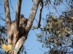 animals kangaroo island