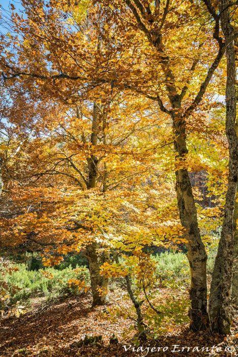 bosques de hayas