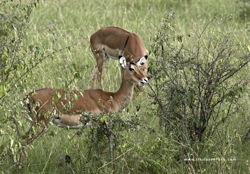 masai-mara-1