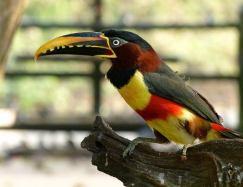 Toucan Arcari