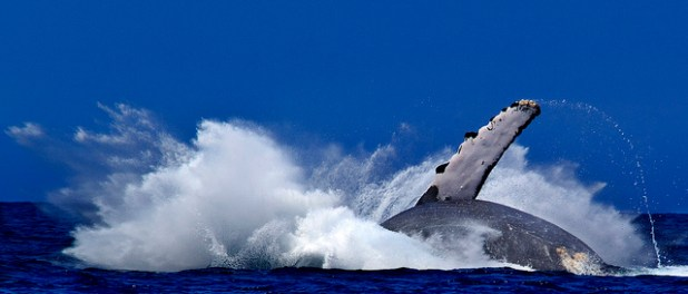 ballena en Hawaii