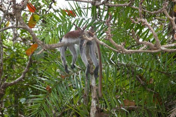 Zanzíbar: monos al parque nacional de Jozani Chwaka (