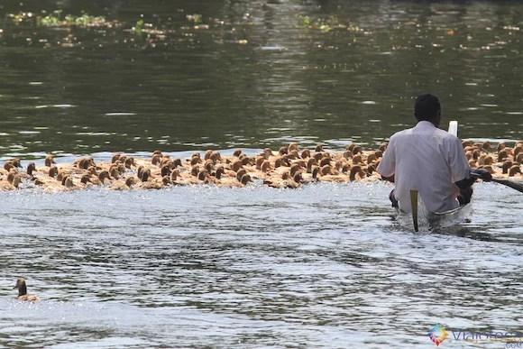 Duck hearding no Kerala