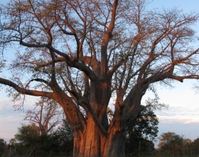Zimbabue big tree