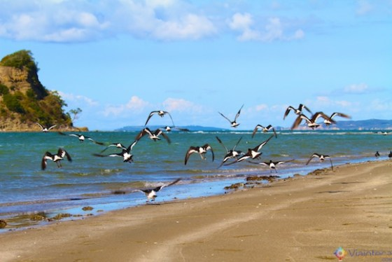 Oyster Catchers em Waiwera Beach