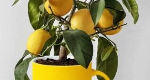 Limonero en taza