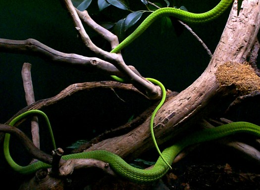 green_mambas