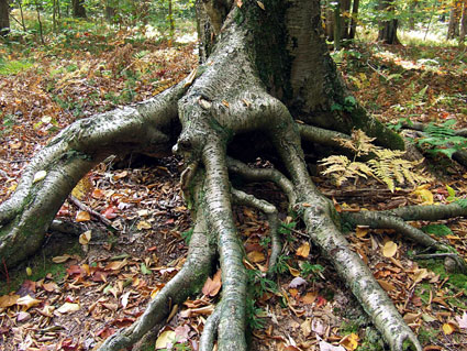 birch roots