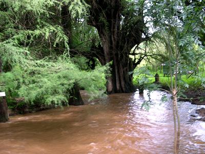 ahuehuetes in a stream