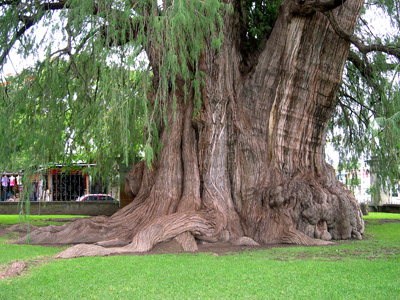 little tree at Tule