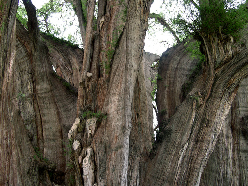 Tule tree limbs