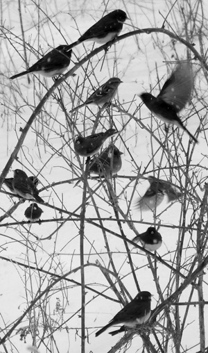 mixed-species flock of winter birds in raspberry canes