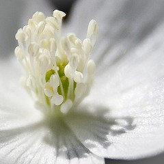Wood Anemone by Jennifer Schlick