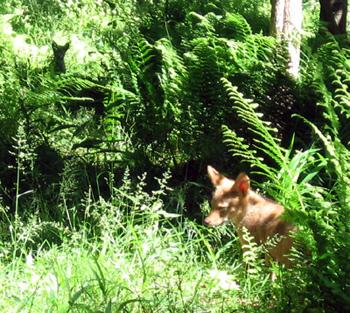 Coyote pups in Plummer's Hollow