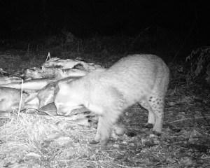 bobcat at bait pile 1