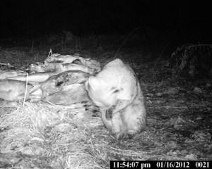 bobcat at bait pile 4