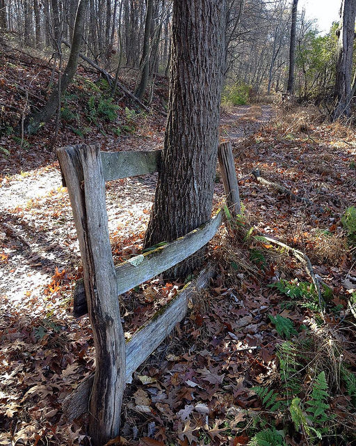 A short section of a old wooden fence with a large walnut tree growing between the top two rails, which have warped around it as it grew.