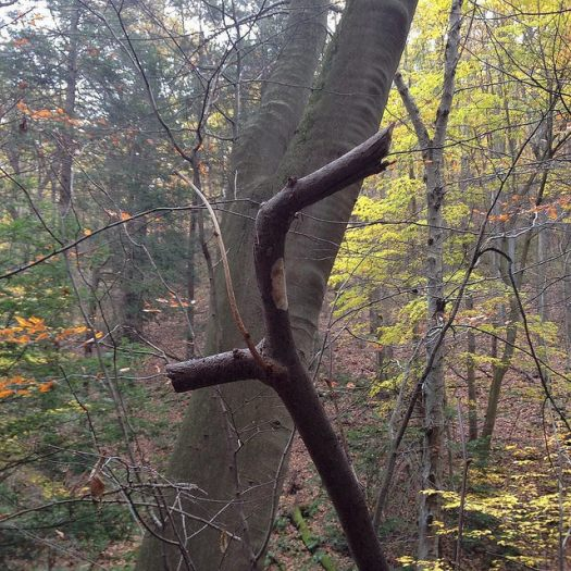 Close of a thin branch pruned in two places with a large beech tree in the background.