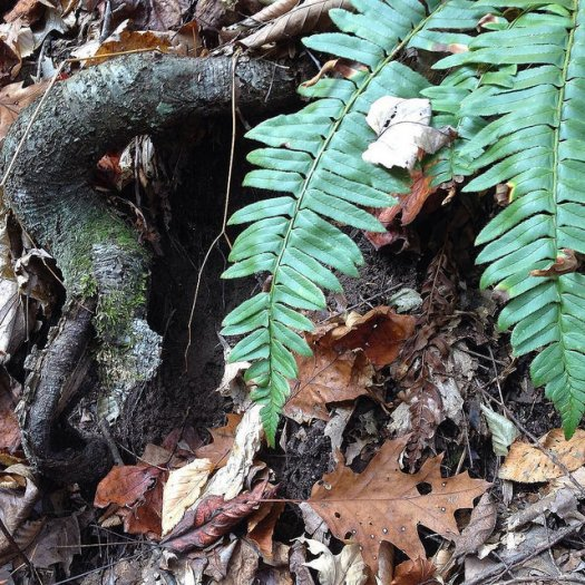 Tree root emerges from the ground and loops back in, bark beginning to peel like a leaf, as if mimicing the ferns dangling down beside it.