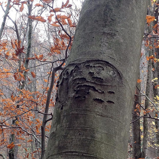 Another arboreal face, this time on a beech, with wide eyes looking upward.