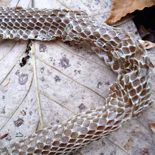 Close-up of a shed snake skin on a fallen leaf.