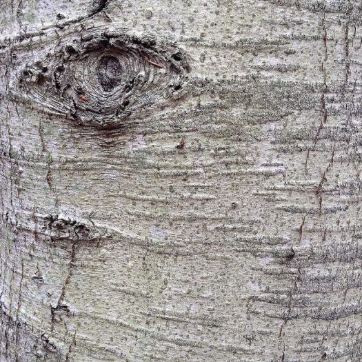 "A worried-looking ""eye"" on a beech tree next to a column of horizontal lines."