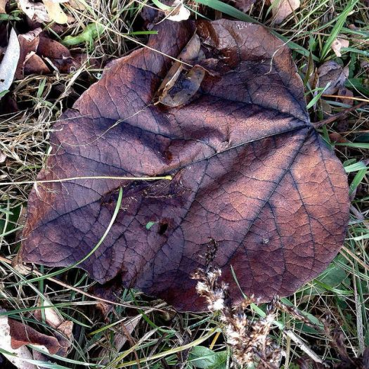 A big, heart-shaped, dead catalpa leaf lies on the grass, having turned a lurid shade of maroon with bluish veins.