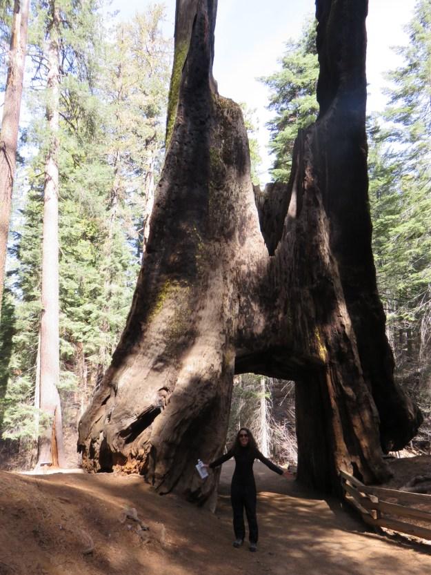 Túnel da árvore gigante morta em Tuolumne Grove.