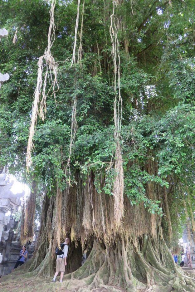 A Banyan é uma árvore sagrada para os hindus. Foto: Marcelle Ribeiro
