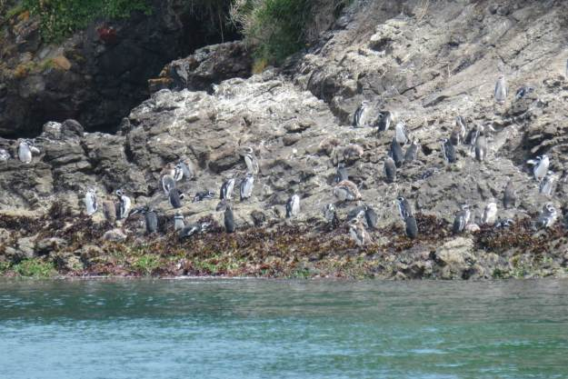 pinguins-punhuil-chiloe-chile