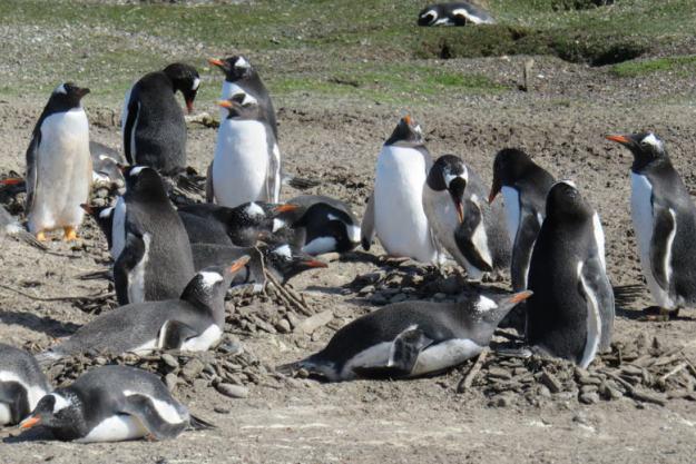 pinguins como ir para ushuaia