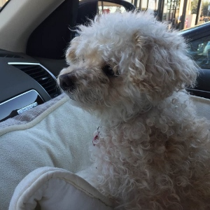 Cookie the miniature poodle