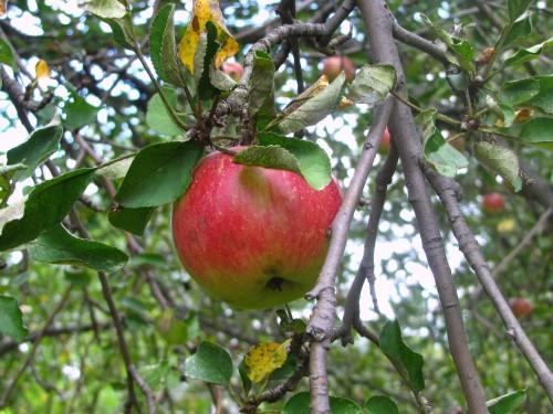 Recipes: Low Fat Apple Crisp