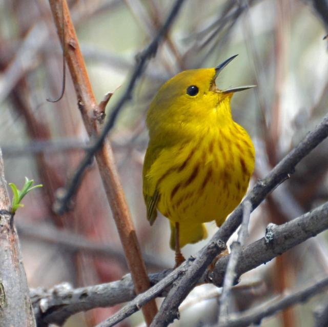 Yellow Warbler in a Thicket