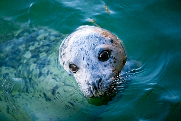 A harbour seal looks out of the water at Fisherman's Wharf in Victoria on Thursday, March 10, 2016. Photograph By DARREN STONE, Times Colonist